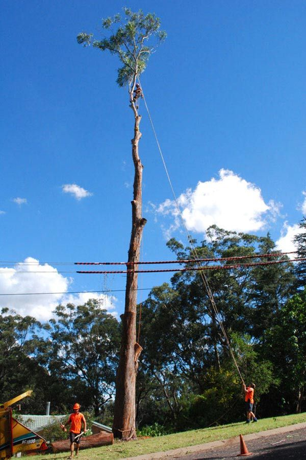 A Large Gum Tree Removal