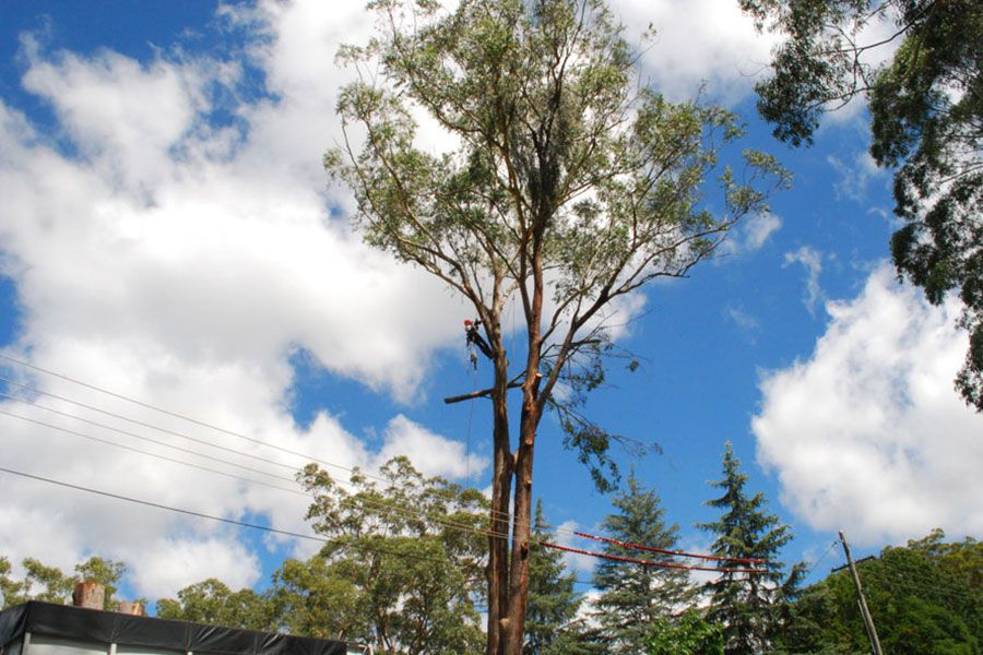 A Tall Gum Tree Near Power Lines