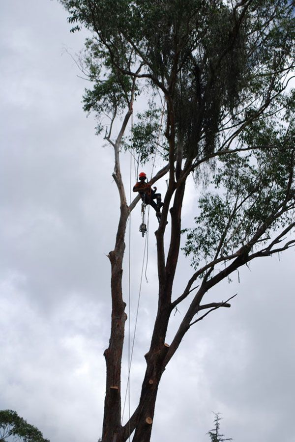 Removal of A Gum Tree in A Cloudy Day
