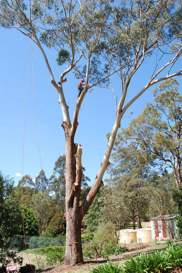Removal of A Large Gum Tree