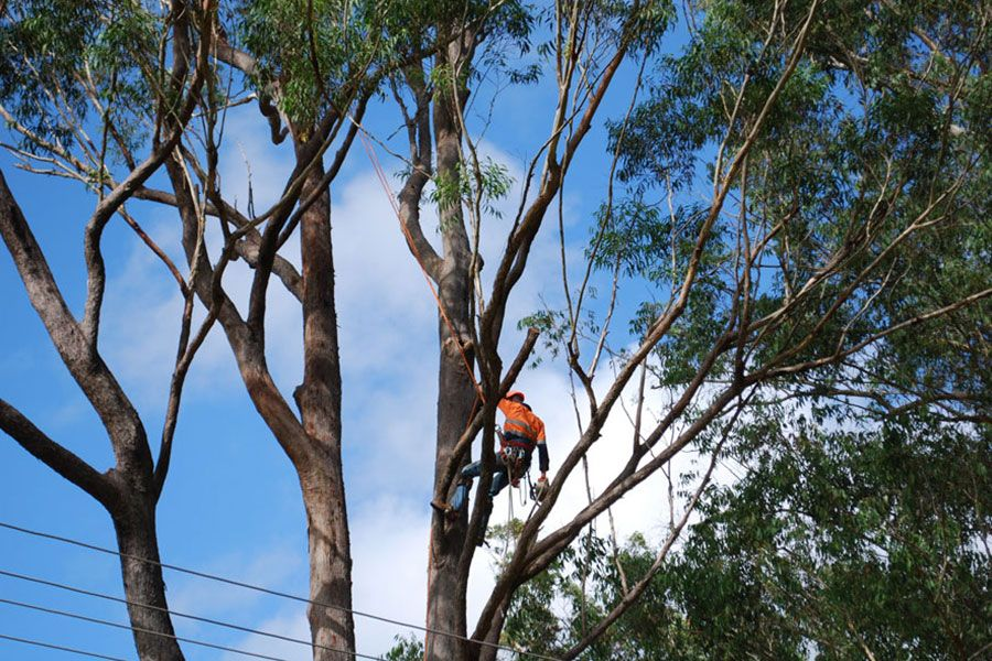 Removal of Gum Tree Near Power Lines Operation